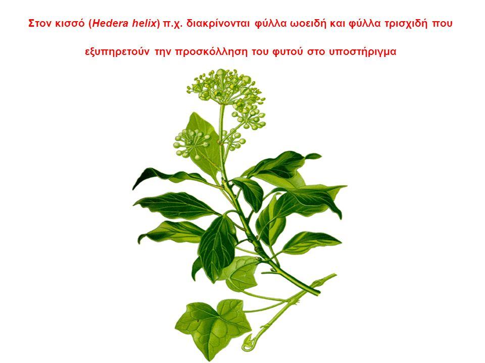 Στον κισσό (Hedera helix) π.χ.
