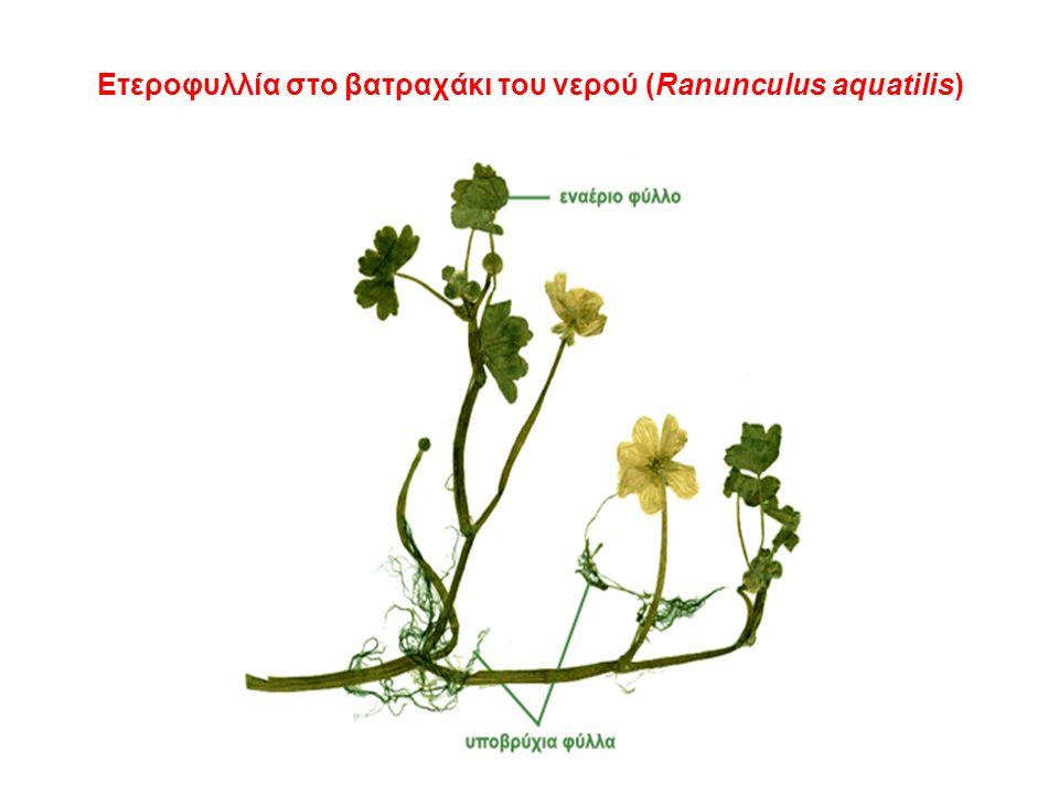 Ετεροφυλλία στο βατραχάκι του νερού (Ranunculus aquatilis)