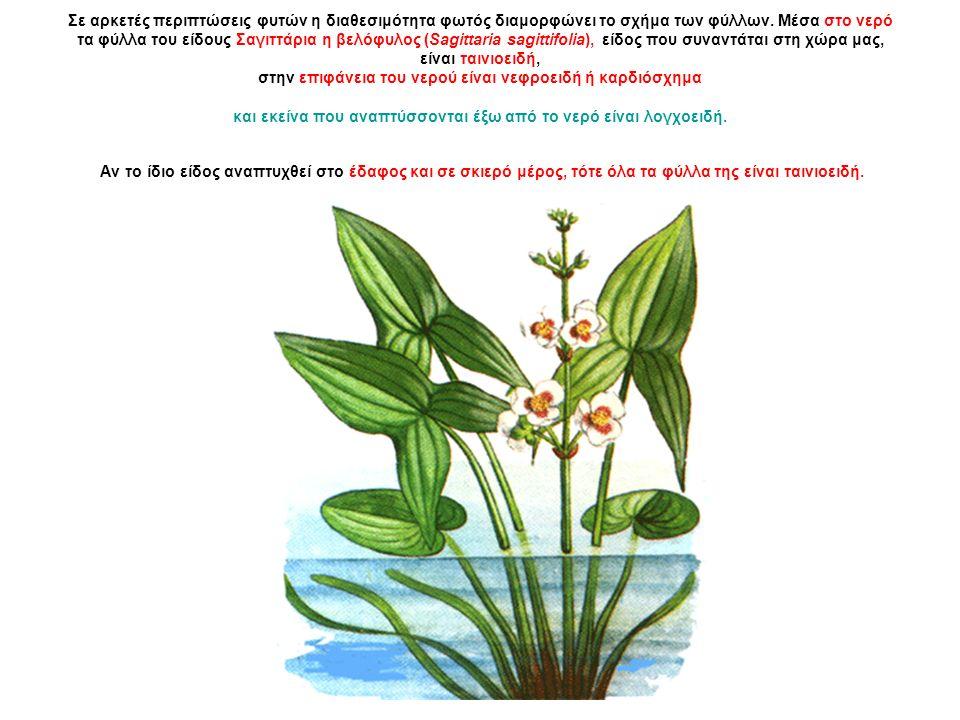 Σε αρκετές περιπτώσεις φυτών η διαθεσιμότητα φωτός διαμορφώνει το σχήμα των φύλλων.