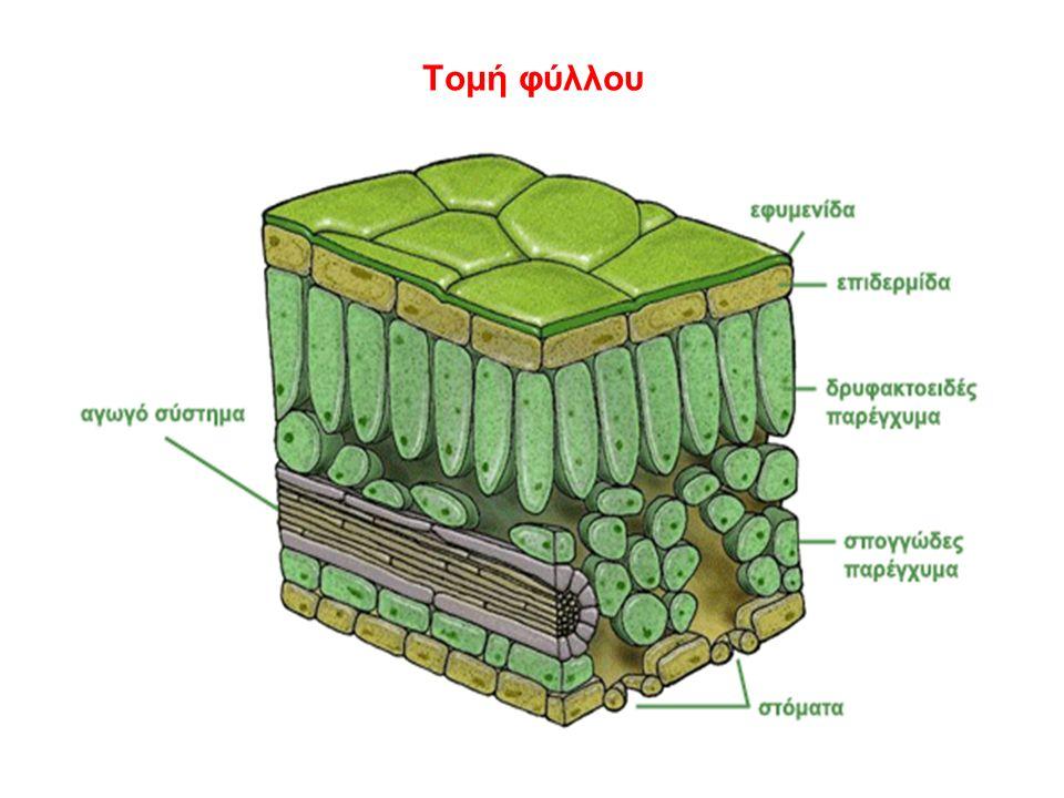 Τομή φύλλου