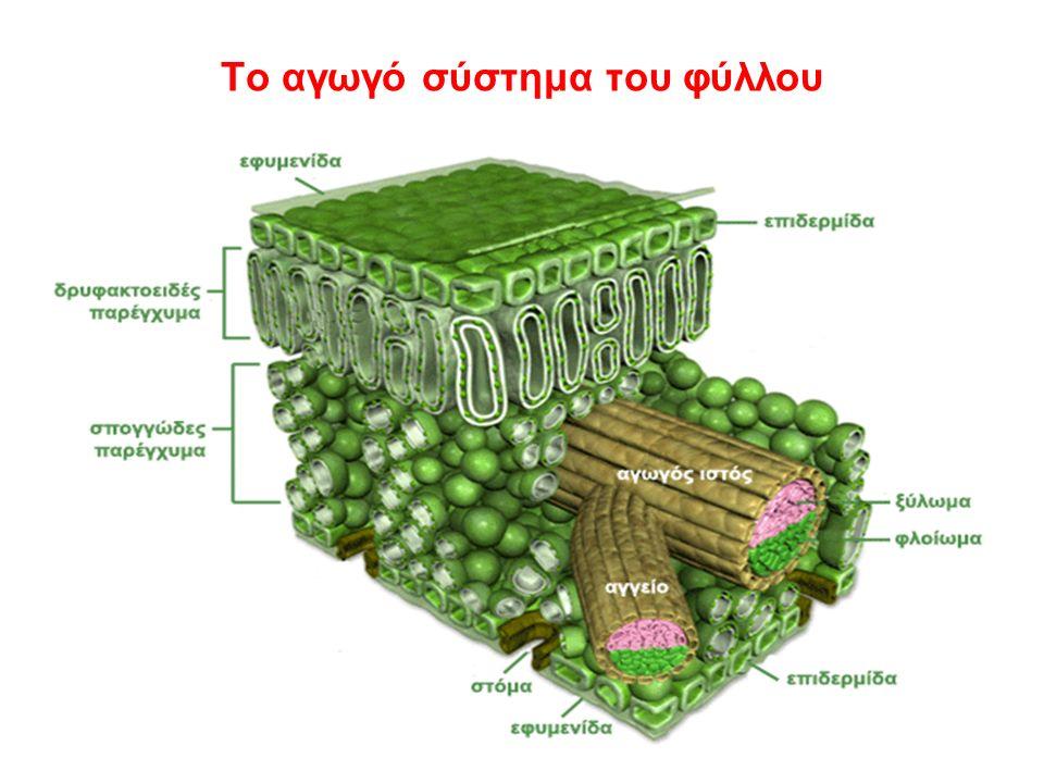 Το αγωγό σύστημα του φύλλου