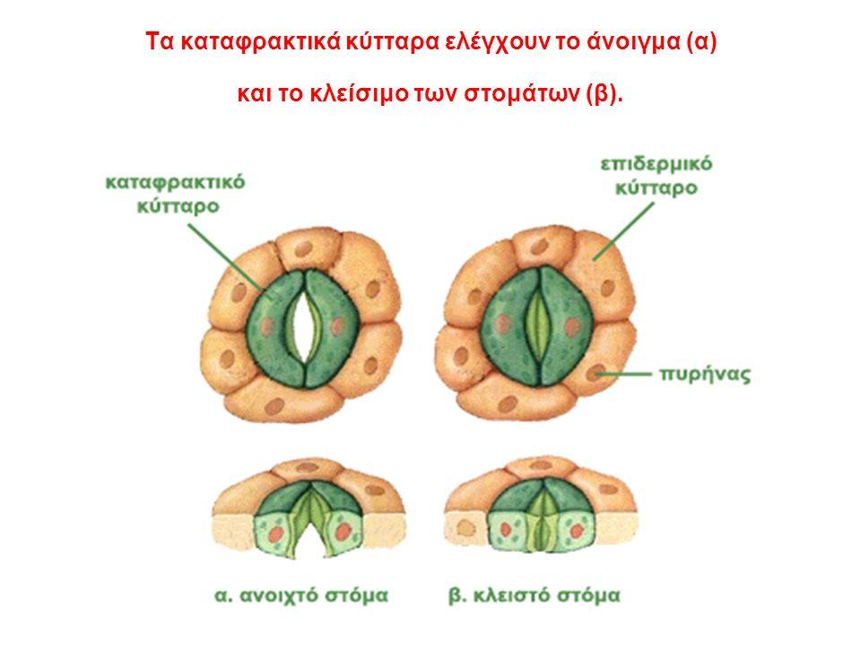 Τα καταφρακτικά κύτταρα ελέγχουν το άνοιγμα (α) και το κλείσιμο των στομάτων (β).