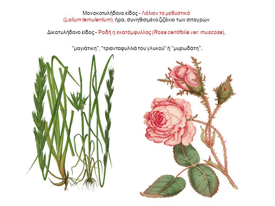 Μονοκοτυλήδονο είδος - Λόλιον το μεθυστικό (Lolium temulentum), ήρα, συνηθισμένο ζιζάνιο των σιταγρών Δικοτυλήδονο είδος - Ροδή η εκατόμφυλλος (Rosa centifolia var.