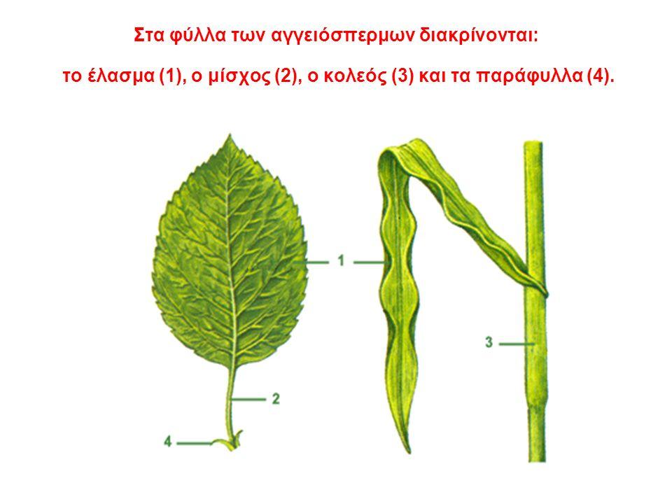 Στα φύλλα των αγγειόσπερμων διακρίνονται: το έλασμα (1), ο μίσχος (2), ο κολεός (3) και τα παράφυλλα (4).
