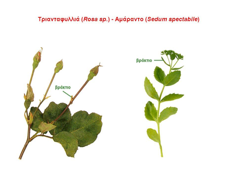 Τριανταφυλλιά (Rosa sp.) - Αμάραντο (Sedum spectabile)