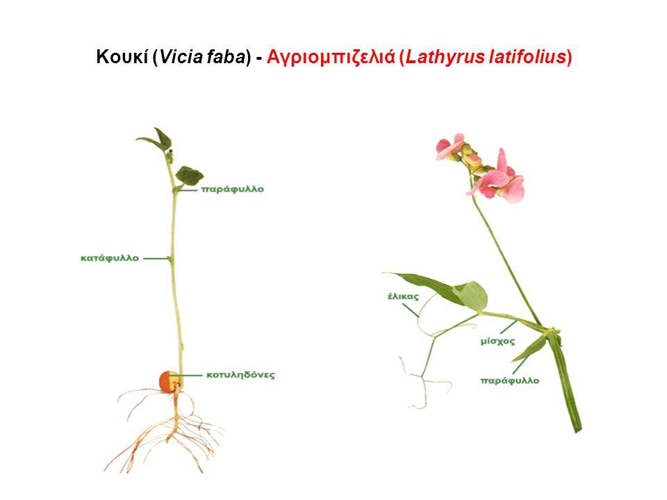 Κουκί (Vicia faba) - Αγριομπιζελιά (Lathyrus latifolius)