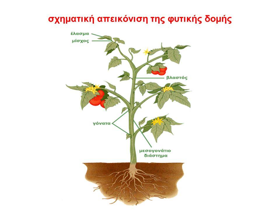 σχηματική απεικόνιση της φυτικής δομής