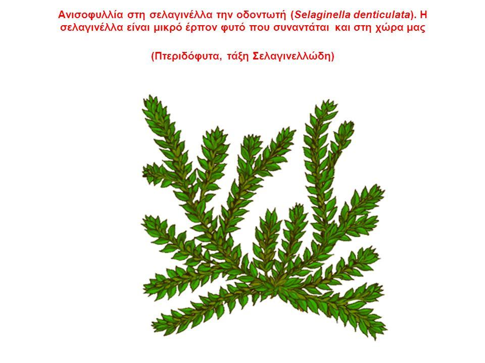 Ανισοφυλλία στη σελαγινέλλα την οδοντωτή (Selaginella denticulata).