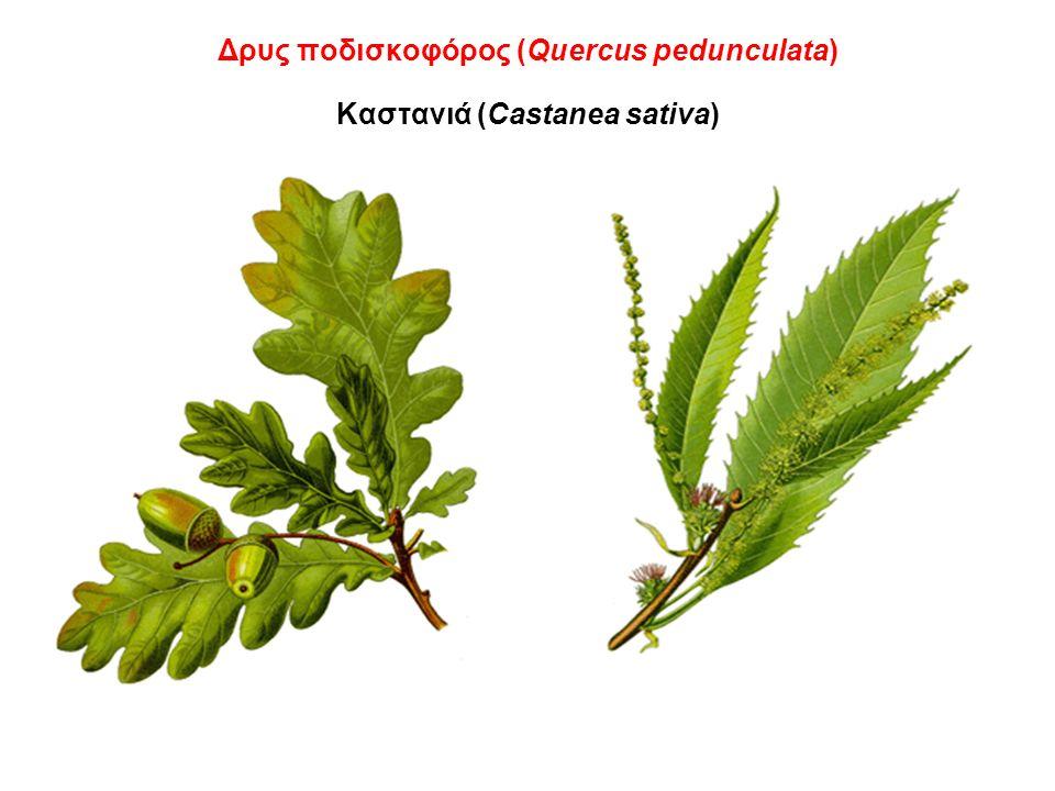 Δρυς ποδισκοφόρος (Quercus pedunculata) Καστανιά (Castanea sativa)