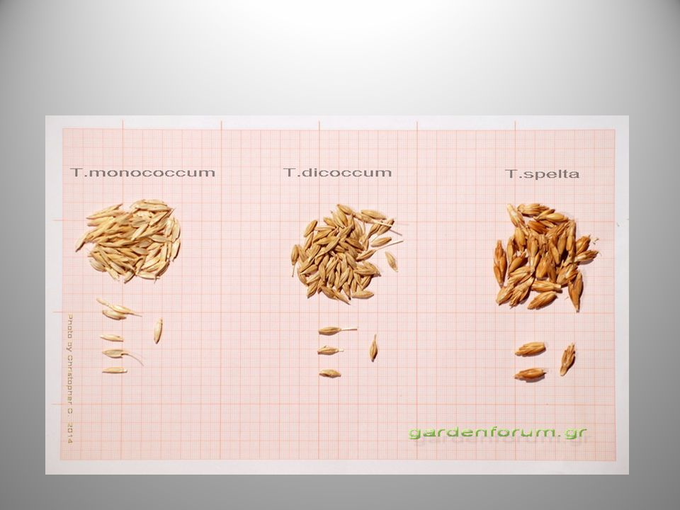Ευεργετικές ιδιότητες για τον οργανισμό Το είδος αυτό του σίτου δεν έχει αλλεργιογόνες ιδιότητες που έχουν άλλα είδη σίτου, επειδή δεν περιέχει τα γονίδια που προκαλούν αλλεργίες.