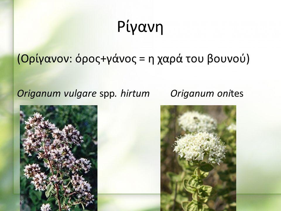 Καλλιέργεια Πολλάπλασιάζεται με σπόρο, μοσχεύματα και διαίρεση παλαιών φυτών Για σπορείο 1 γρ.