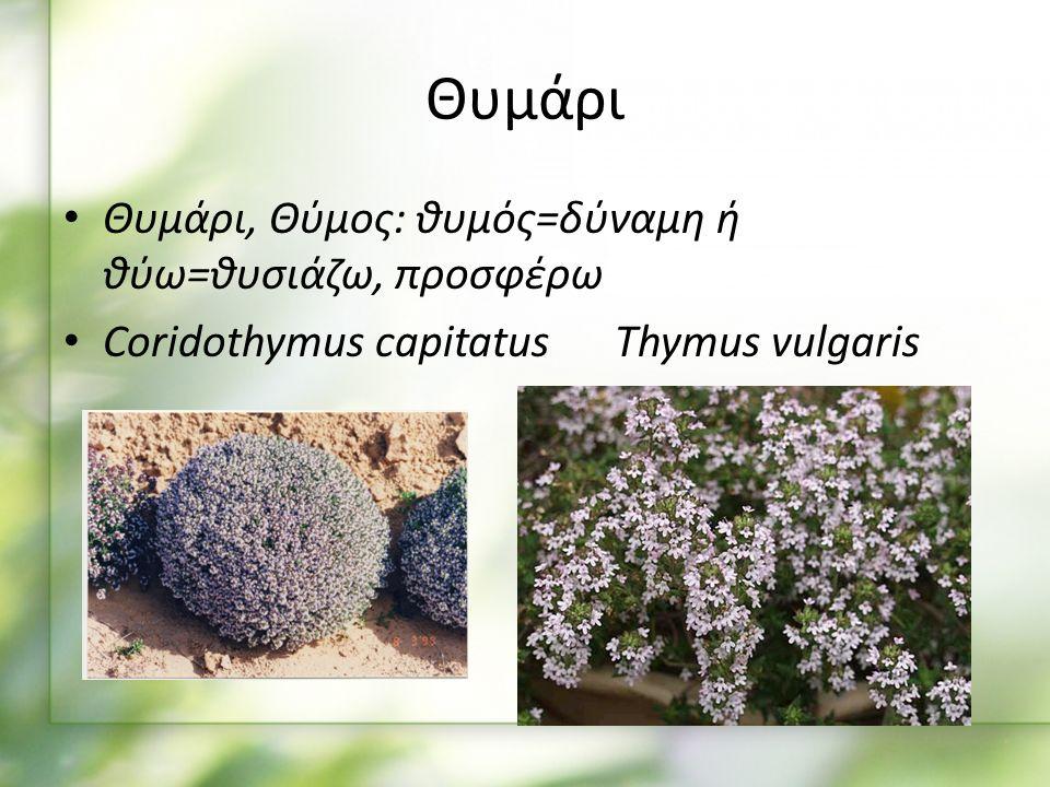 Θυμάρι Θυμάρι, Θύμος: θυμός=δύναμη ή θύω=θυσιάζω, προσφέρω Coridothymus capitatus Thymus vulgaris