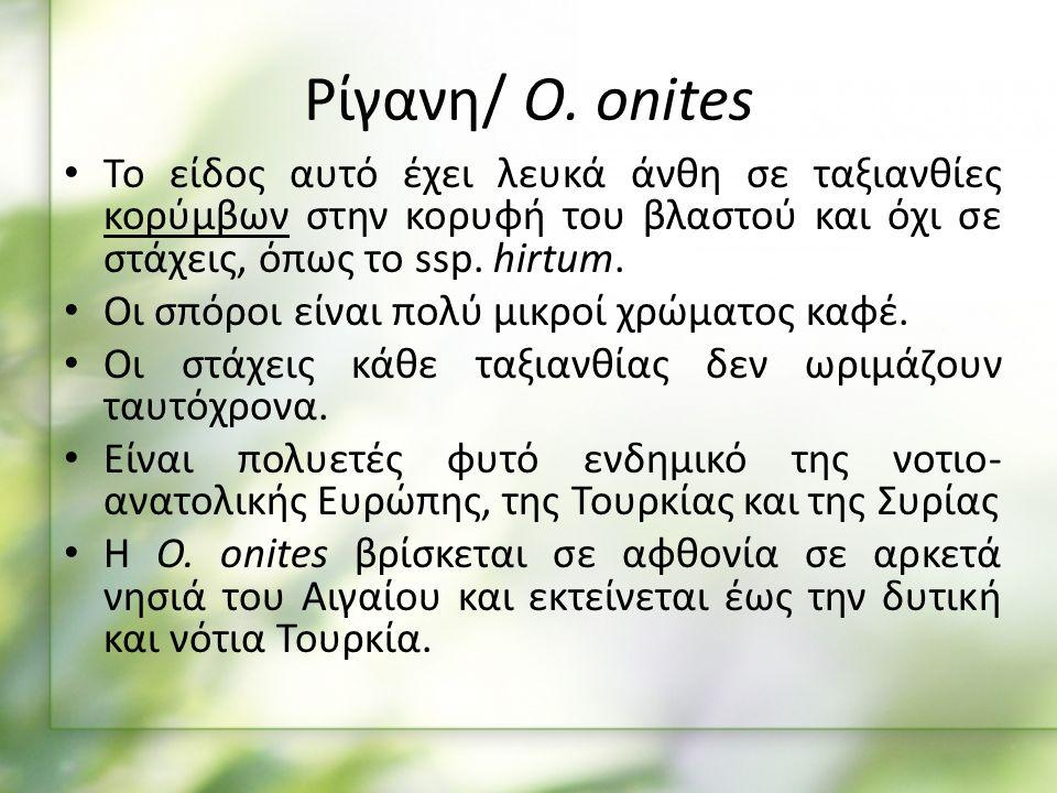 Αιθέριο έλαιο ρίγανης Ρίγανη O.onites (Άγρια Ρίγανη) O.
