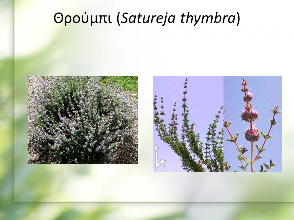 Θρούμπι (Satureja thymbra)
