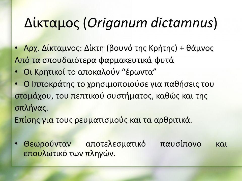 Δίκταμος (Origanum dictamnus) Αρχ.