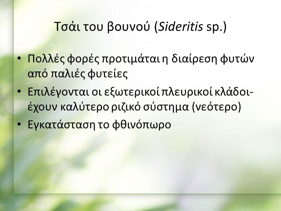 Πολλές φορές προτιμάται η διαίρεση φυτών από παλιές φυτείες Επιλέγονται οι εξωτερικοί πλευρικοί κλάδοι- έχουν καλύτερο ριζικό σύστημα (νεότερο) Εγκατάσταση το φθινόπωρο Τσάι του βουνού (Sideritis sp.)