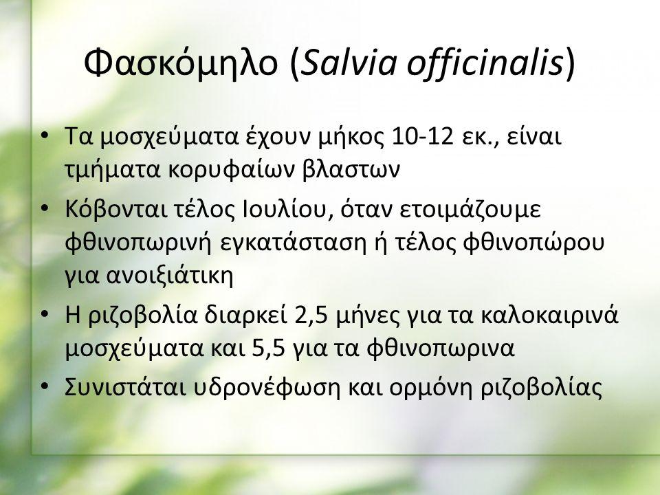 Τα μοσχεύματα έχουν μήκος 10-12 εκ., είναι τμήματα κορυφαίων βλαστων Κόβονται τέλος Ιουλίου, όταν ετοιμάζουμε φθινοπωρινή εγκατάσταση ή τέλος φθινοπώρου για ανοιξιάτικη Η ριζοβολία διαρκεί 2,5 μήνες για τα καλοκαιρινά μοσχεύματα και 5,5 για τα φθινοπωρινα Συνιστάται υδρονέφωση και ορμόνη ριζοβολίας Φασκόμηλο (Salvia officinalis)