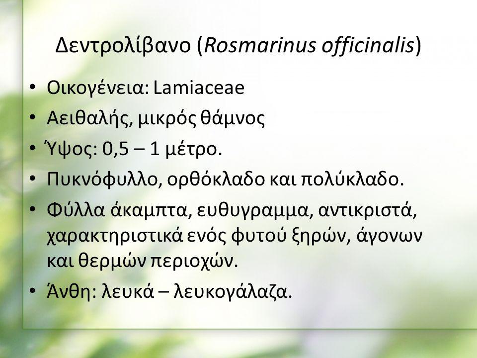 Δεντρολίβανο (Rosmarinus officinalis) Οικογένεια: Lamiaceae Αειθαλής, μικρός θάμνος Ύψος: 0,5 – 1 μέτρο.
