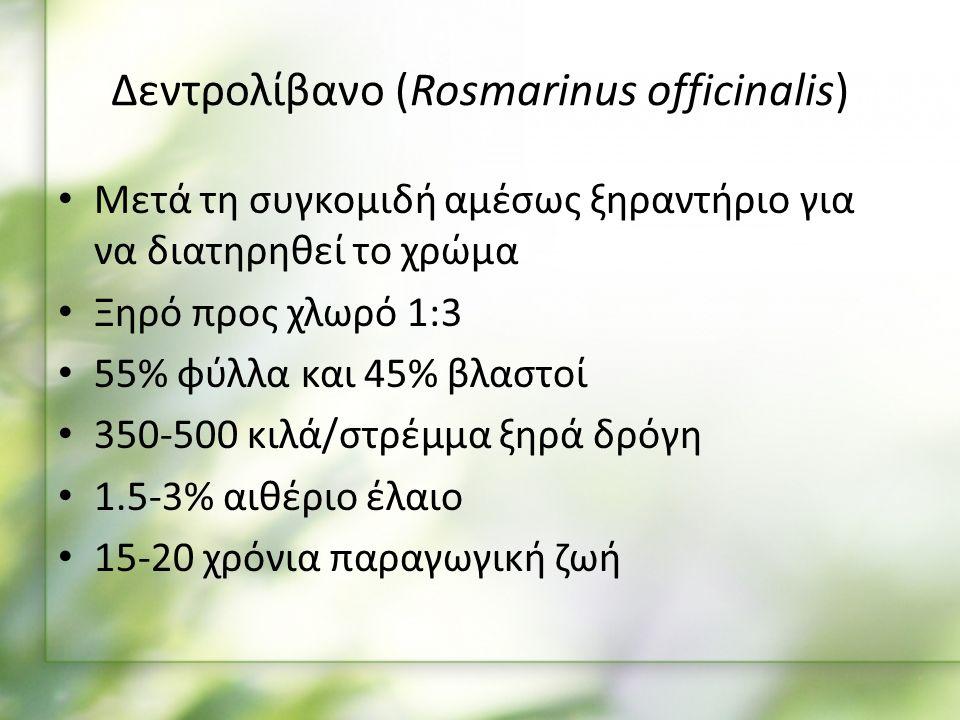 Μετά τη συγκομιδή αμέσως ξηραντήριο για να διατηρηθεί το χρώμα Ξηρό προς χλωρό 1:3 55% φύλλα και 45% βλαστοί 350-500 κιλά/στρέμμα ξηρά δρόγη 1.5-3% αιθέριο έλαιο 15-20 χρόνια παραγωγική ζωή Δεντρολίβανο (Rosmarinus officinalis)