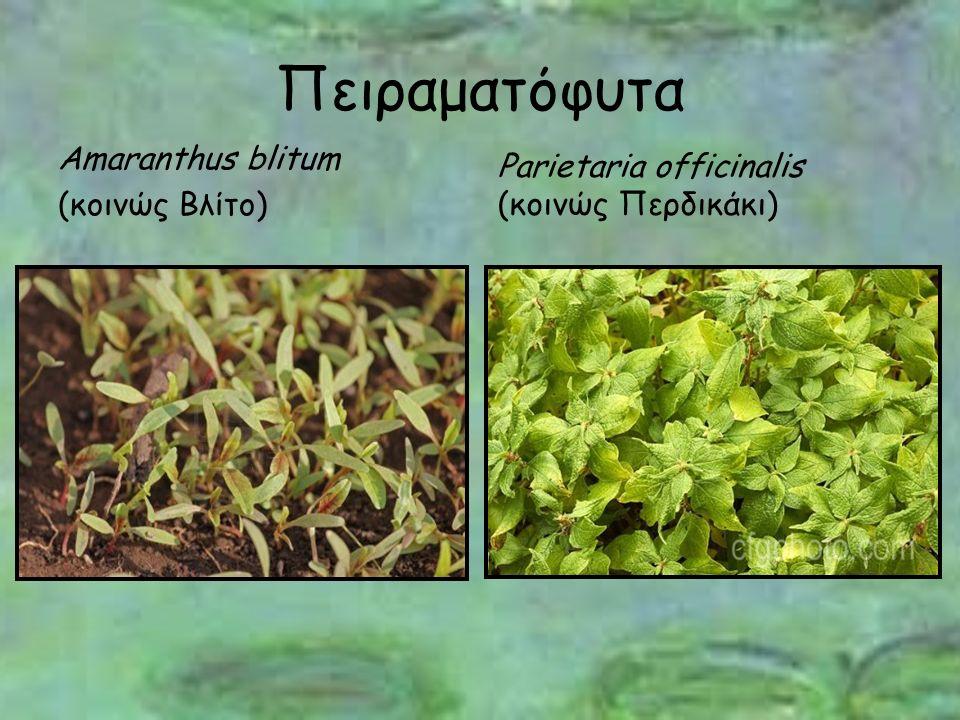 Πειραματόφυτα Amaranthus blitum (κοινώς Βλίτο) Parietaria officinalis (κοινώς Περδικάκι)