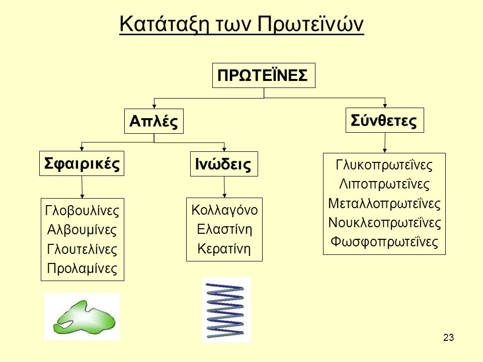 23 Κατάταξη των Πρωτεϊνών ΠΡΩΤΕΪΝΕΣ Απλές Σύνθετες Σφαιρικές Ινώδεις Γλοβουλίνες Αλβουμίνες Γλουτελίνες Προλαμίνες Κολλαγόνο Ελαστίνη Κερατίνη Γλυκοπρωτεΐνες Λιποπρωτεΐνες Μεταλλοπρωτεΐνες Νουκλεοπρωτεΐνες Φωσφοπρωτεΐνες
