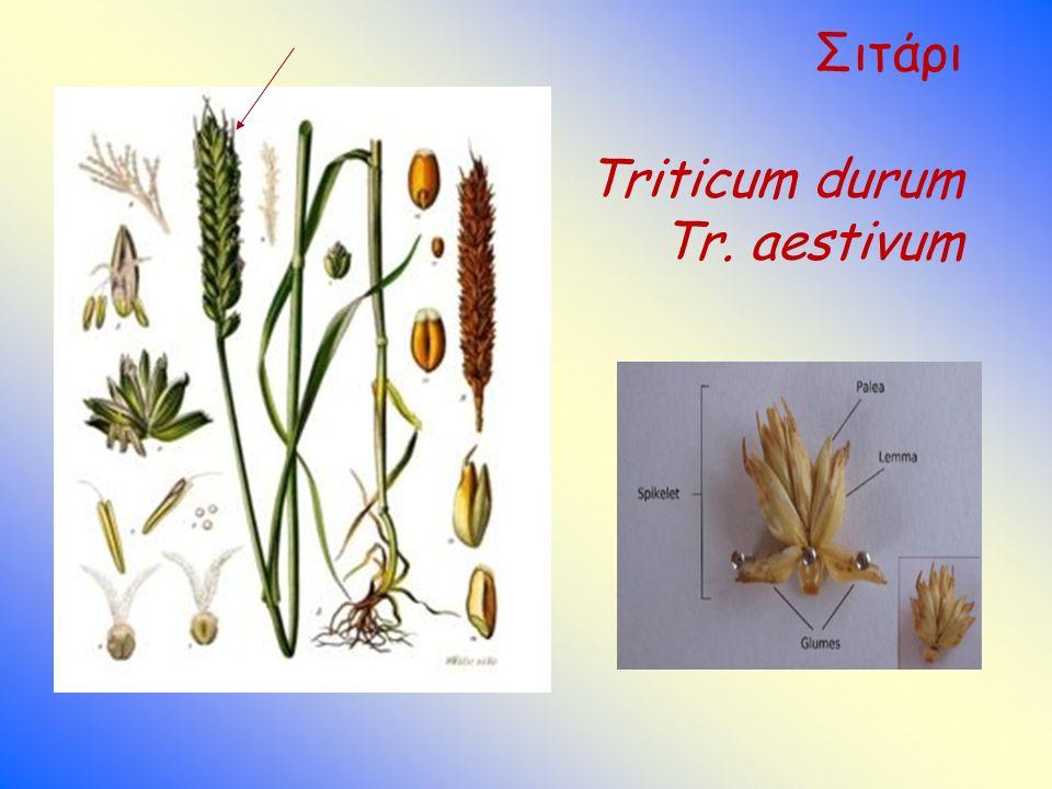 Σιτάρι Triticum durum Tr. aestivum e