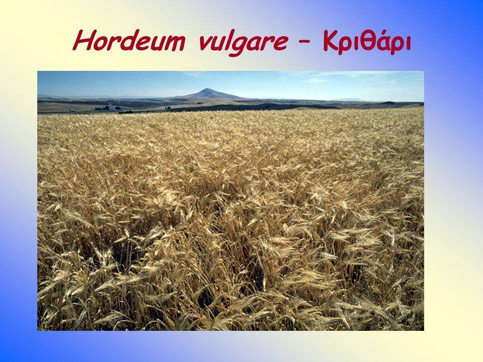 Hordeum vulgare – Κριθάρι