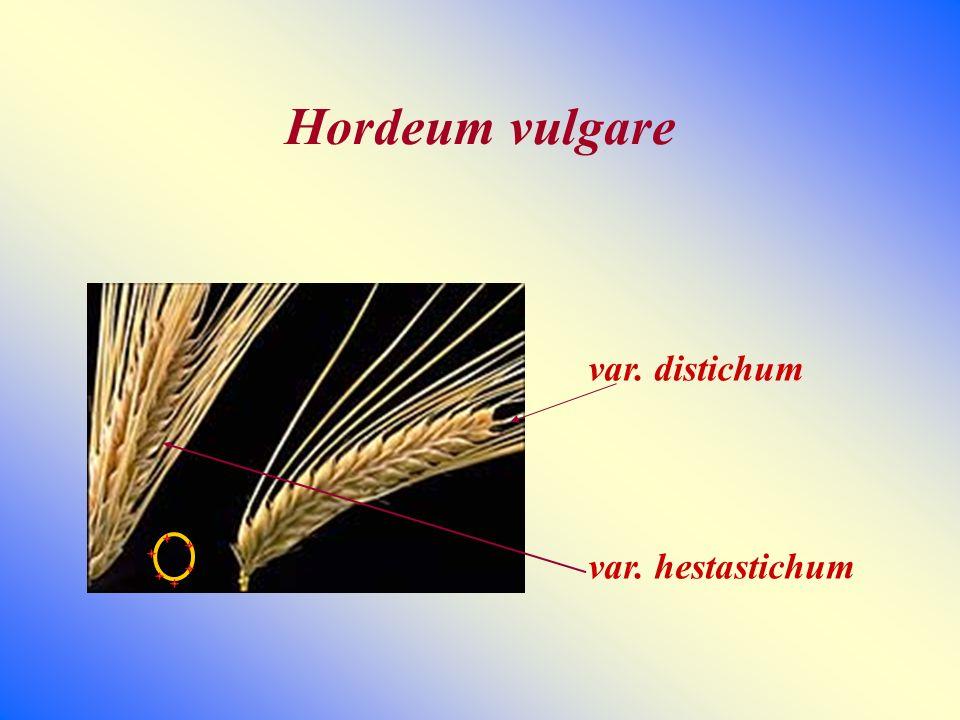 Hordeum vulgare var. distichum var. hestastichum