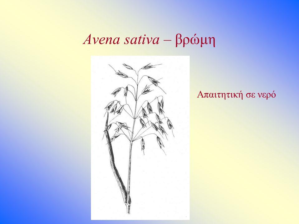 Avena sativa – βρώμη Απαιτητική σε νερό