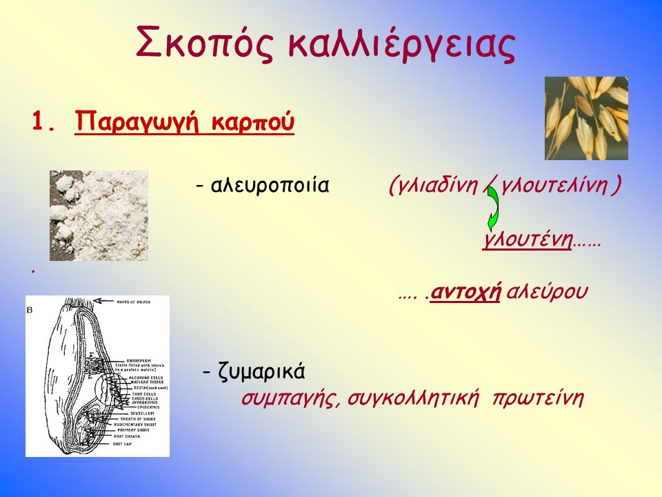 Σκοπός καλλιέργειας 1.Παραγωγή καρπού - αλευροποιία (γλιαδίνη / γλουτελίνη ) γλουτένη……. …..αντοχή αλεύρου - ζυμαρικά συμπαγής, συγκολλητική πρωτείνη