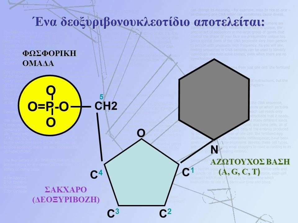 Ένα δεοξυριβονουκλεοτίδιο αποτελείται: O O=P-O OΦΩΣΦΟΡΙΚΗΟΜΑΔΑ N ΑΖΩΤΟΥΧΟΣ ΒΑΣΗ (A, G, C, T ) (A, G, C, T ) CH2 O C1C1 C4C4 C3C3 C2C2 5 ΣΑΚΧΑΡΟ ΣΑΚΧΑΡΟ (ΔΕΟΞΥΡΙΒΟΖΗ)
