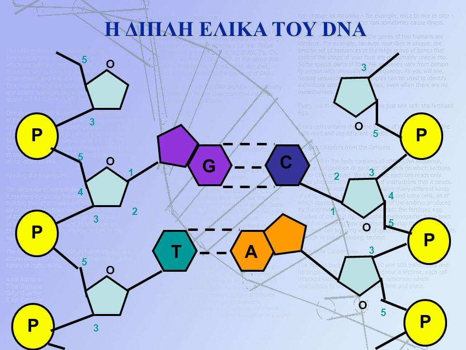 Η ΔΙΠΛΗ ΕΛΙΚΑ ΤΟΥ DNA Η ΔΙΠΛΗ ΕΛΙΚΑ ΤΟΥ DNA P P P O O O 1 2 3 4 5 5 3 3 5 P P P O O O 1 2 3 4 5 5 3 5 3 G C TA