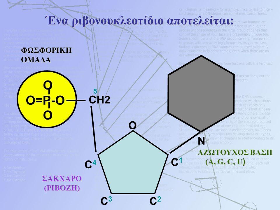 Ένα ριβονουκλεοτίδιο αποτελείται: O O=P-O OΦΩΣΦΟΡΙΚΗΟΜΑΔΑ N ΑΖΩΤΟΥΧΟΣ ΒΑΣΗ (A, G, C, U ) (A, G, C, U ) CH2 O C1C1 C4C4 C3C3 C2C2 5 ΣΑΚΧΑΡΟ ΣΑΚΧΑΡΟ (ΡΙ