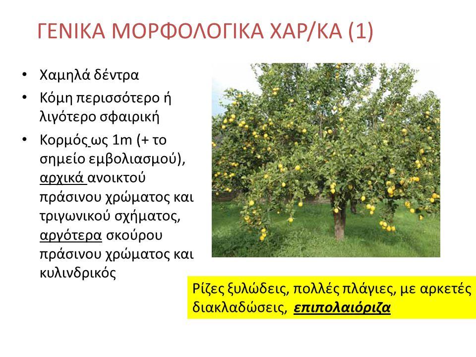 Χαμηλά δέντρα Κόμη περισσότερο ή λιγότερο σφαιρική Κορμός ως 1m (+ το σημείο εμβολιασμού), αρχικά ανοικτού πράσινου χρώματος και τριγωνικού σχήματος, αργότερα σκούρου πράσινου χρώματος και κυλινδρικός ΓΕΝΙΚΑ ΜΟΡΦΟΛΟΓΙΚΑ ΧΑΡ/ΚΑ (1) Ρίζες ξυλώδεις, πολλές πλάγιες, με αρκετές διακλαδώσεις, επιπολαιόριζα