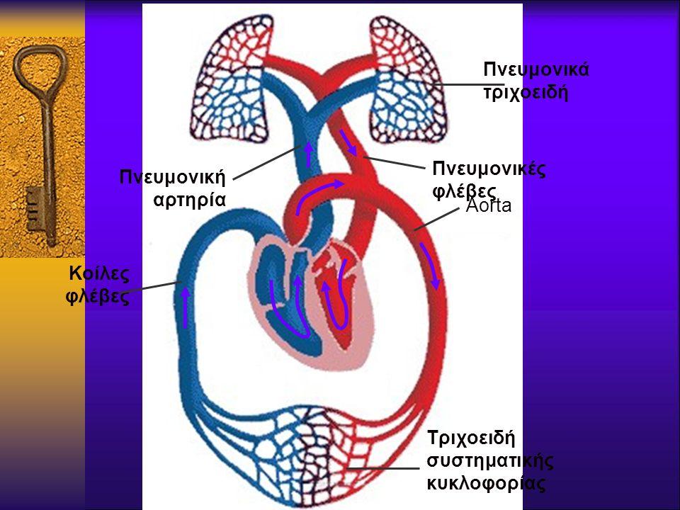 Πνευμονικά τριχοειδή Aorta Πνευμονικές φλέβες Τριχοειδή συστηματικής κυκλοφορίας Κοίλες φλέβες Πνευμονική αρτηρία