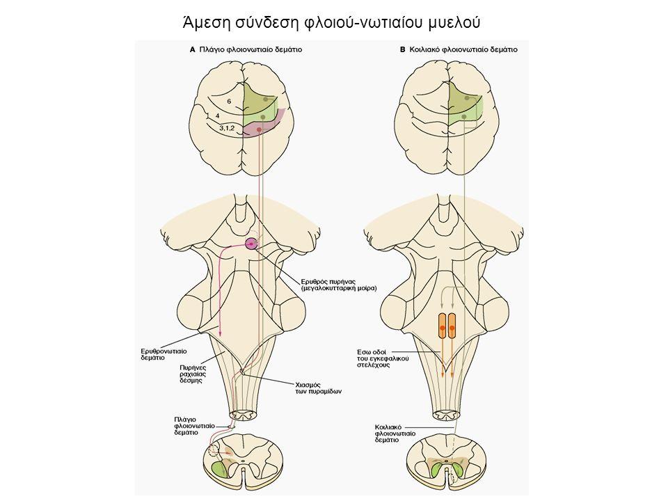  Οι ενδοατράκτιες ίνες είναι εξειδικευμένες μυικές ίνες μικρότερες από τις εξωατράκτιες ίνες και δεν συμβάλλουν σημαντικά στη μυική σύσπαση.