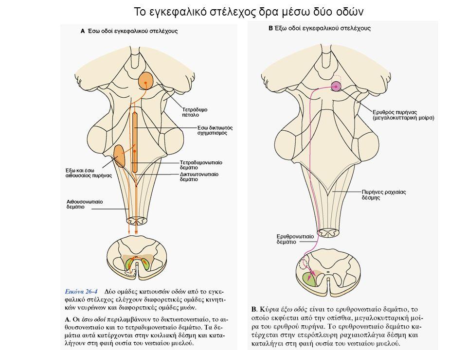 Το εγκεφαλικό στέλεχος δρα μέσω δύο οδών