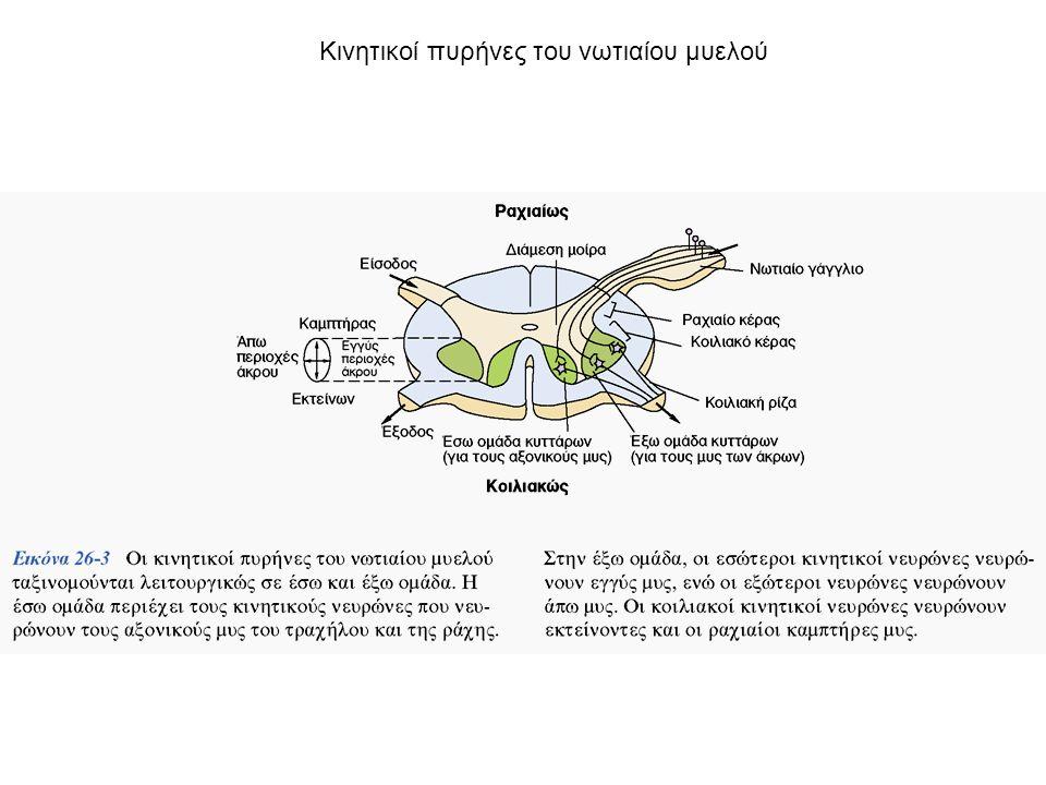 Κινητικοί πυρήνες του νωτιαίου μυελού