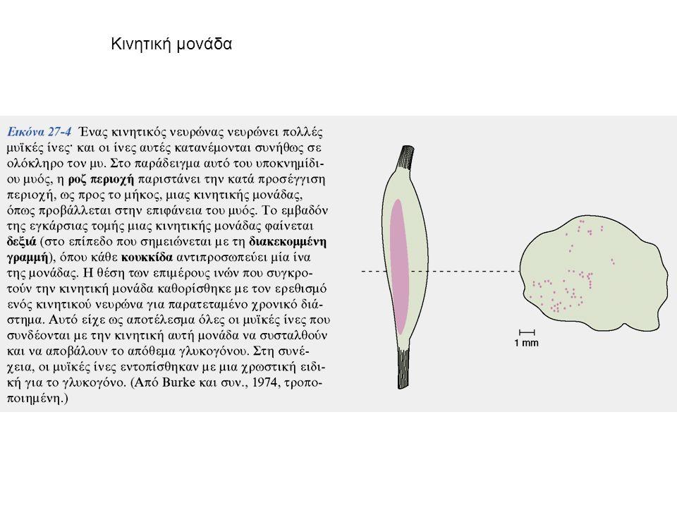 Το ΝΣ διαβαθμίζει τη δύναμη της μυικής σύσπασης: -Με αύξηση του ρυθμού εκπόλωσης -Με αύξηση των κινητικών μονάδων