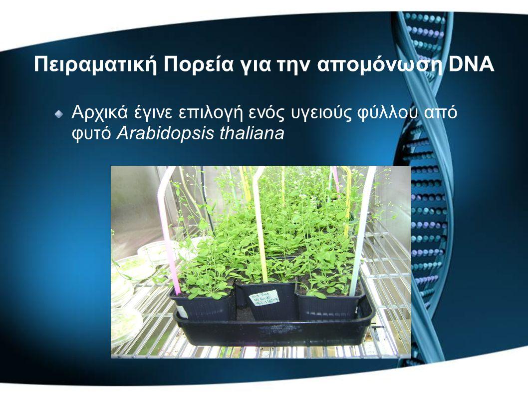 Πειραματική Πορεία για την απομόνωση DNA Αρχικά έγινε επιλογή ενός υγειούς φύλλου από φυτό Arabidopsis thaliana