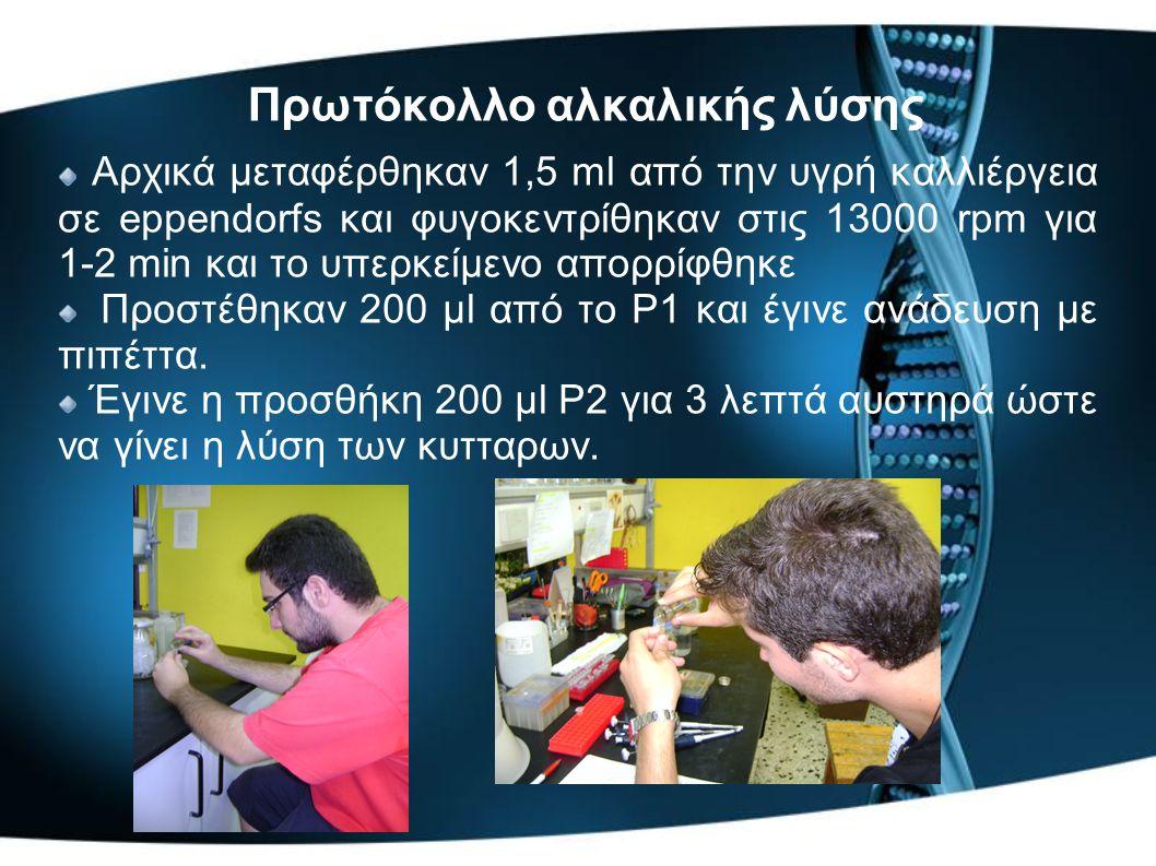 Πρωτόκολλο αλκαλικής λύσης Αρχικά μεταφέρθηκαν 1,5 ml από την υγρή καλλιέργεια σε eppendorfs και φυγοκεντρίθηκαν στις 13000 rpm για 1-2 min και το υπερκείμενο απορρίφθηκε Προστέθηκαν 200 μl από το P1 και έγινε ανάδευση με πιπέττα.