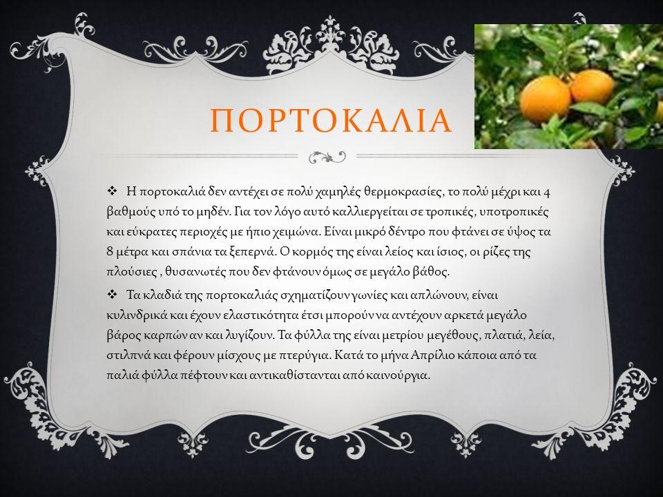 ΠΟΡΤΟΚΑΛΙΑ  Η πορτοκαλιά δεν αντέχει σε πολύ χαμηλές θερμοκρασίες, το πολύ μέχρι και 4 βαθμούς υπό το μηδέν.