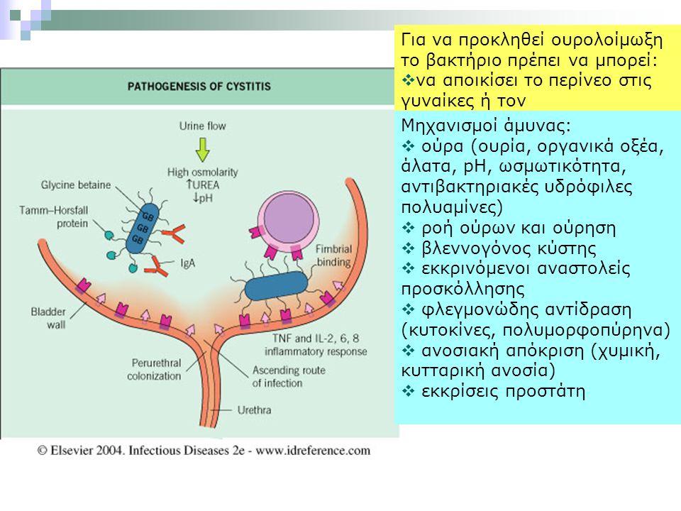 Για να προκληθεί ουρολοίμωξη το βακτήριο πρέπει να μπορεί:  να αποικίσει το περίνεο στις γυναίκες ή τον περιακροποσθιακό σάκο στους άνδρες  να εισέλθει στο ουροποιητικό από ουρήθρα  να πολλαπλασιαστεί στα ούρα  να αντισταθεί στη φυσιολογική έκπλυση (ούρηση)και στους αμυντικούς μηχανισμούς  να αντιδράσει με το ουροεπιθήλιο, το διάμεσο ιστό του νεφρού ή το πυελοκαλυκικό σύστημα και να προκύψει φλεγμονή Μηχανισμοί άμυνας:  ούρα (ουρία, οργανικά οξέα, άλατα, pH, ωσμωτικότητα, αντιβακτηριακές υδρόφιλες πολυαμίνες)  ροή ούρων και ούρηση  βλεννογόνος κύστης  εκκρινόμενοι αναστολείς προσκόλλησης  φλεγμονώδης αντίδραση (κυτοκίνες, πολυμορφοπύρηνα)  ανοσιακή απόκριση (χυμική, κυτταρική ανοσία)  εκκρίσεις προστάτη