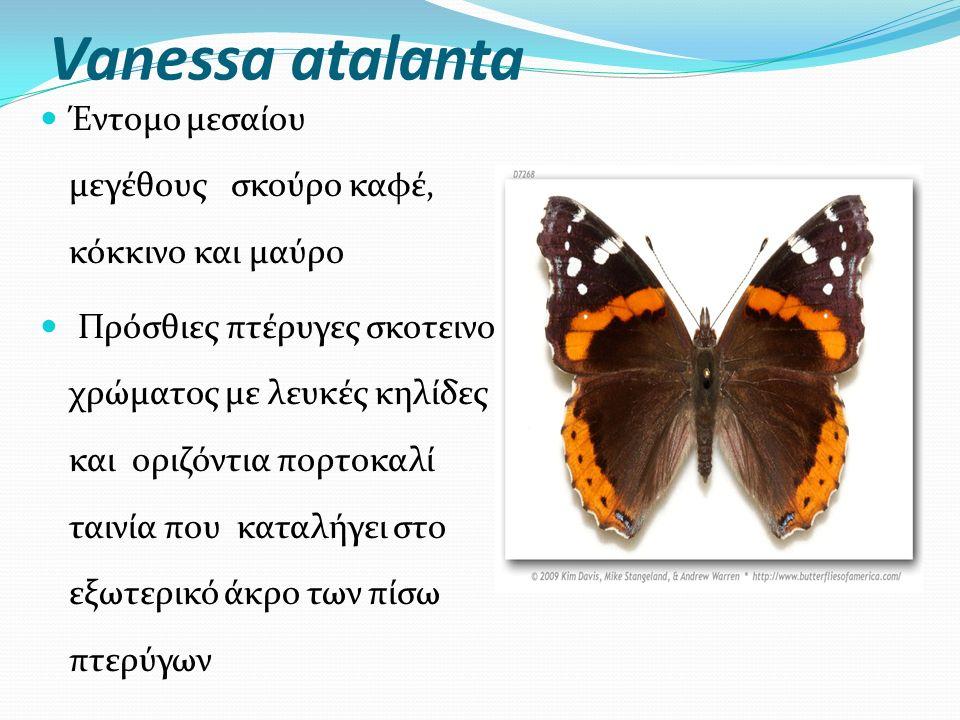 Vanessa atalanta Έντομο μεσαίου μεγέθους σκούρο καφέ, κόκκινο και μαύρο Πρόσθιες πτέρυγες σκοτεινού χρώματος με λευκές κηλίδες και οριζόντια πορτοκαλί ταινία που καταλήγει στο εξωτερικό άκρο των πίσω πτερύγων