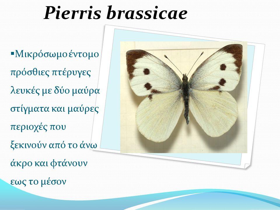  Μικρόσωμο έντομο πρόσθιες πτέρυγες λευκές με δύο μαύρα στίγματα και μαύρες περιοχές που ξεκινούν από το άνω άκρο και φτάνουν εως το μέσον Pierris brassicae
