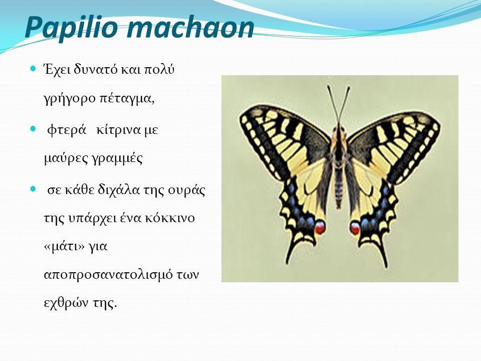 Papilio machaon Έχει δυνατό και πολύ γρήγορο πέταγμα, φτερά κίτρινα με μαύρες γραμμές σε κάθε διχάλα της ουράς της υπάρχει ένα κόκκινο «μάτι» για αποπροσανατολισμό των εχθρών της.