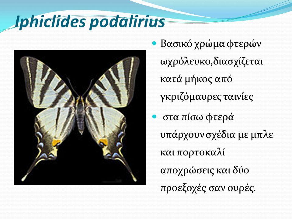 Iphiclides podalirius Bασικό χρώμα φτερών ωχρόλευκο,διασχίζεται κατά μήκος από γκριζόμαυρες ταινίες στα πίσω φτερά υπάρχουν σχέδια με μπλε και πορτοκαλί αποχρώσεις και δύο προεξοχές σαν ουρές.