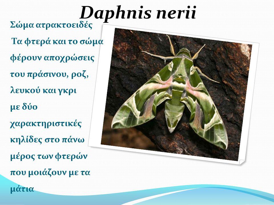 Σώμα ατρακτοειδές Τα φτερά και το σώμα φέρουν αποχρώσεις του πράσινου, ροζ, λευκού και γκρι με δύο χαρακτηριστικές κηλίδες στο πάνω μέρος των φτερών που μοιάζουν με τα μάτια Daphnis nerii