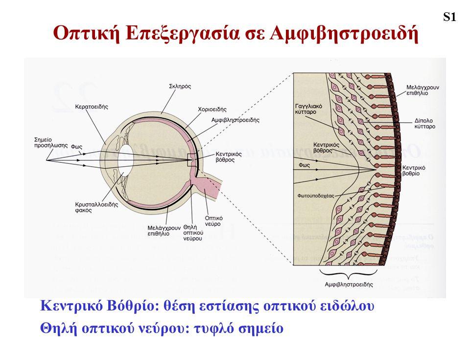 Οπτική Επεξεργασία σε Αμφιβηστροειδή S1 Κεντρικό Βόθρίο: θέση εστίασης οπτικού ειδώλου Θηλή οπτικού νεύρου: τυφλό σημείο
