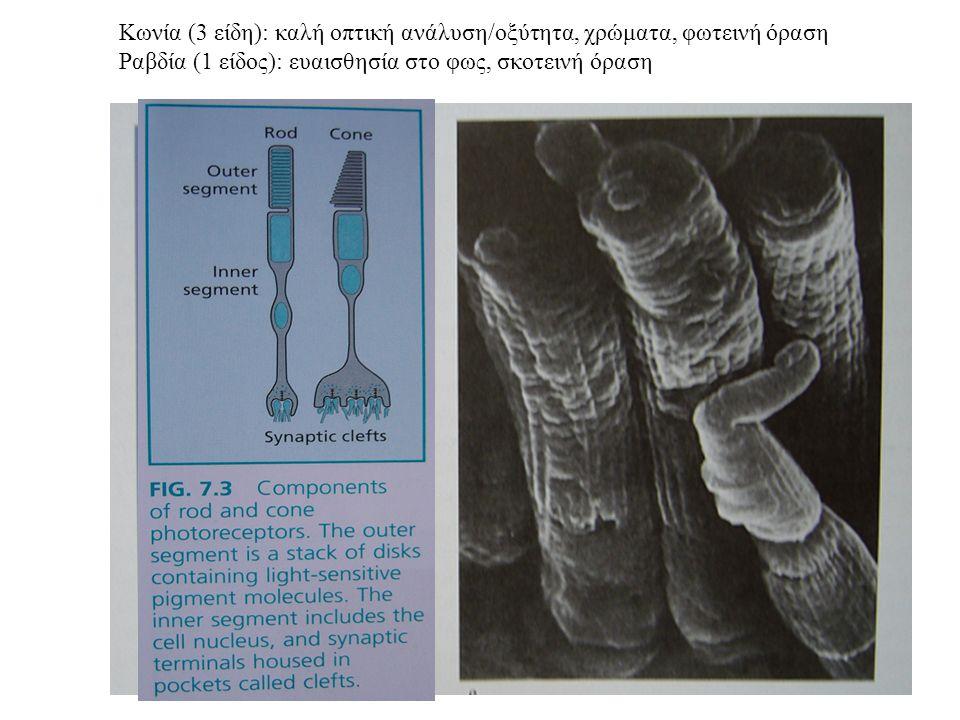 Κωνία (3 είδη): καλή οπτική ανάλυση/οξύτητα, χρώματα, φωτεινή όραση Ραβδία (1 είδος): ευαισθησία στο φως, σκοτεινή όραση